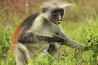 Yellow Monkey of Jozani Forest, Zanzibar